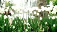 Weiße Tulpen - Dolly Schuss