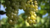 White wine grapes, beautiful nature