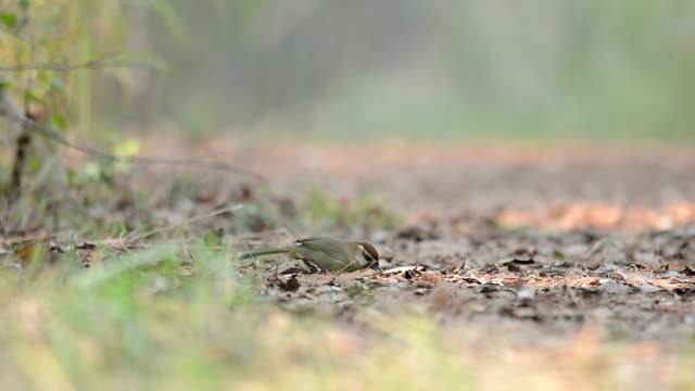 White-browed Laughingthrush ,Bird find worm on ground