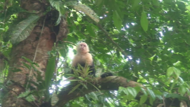 White-headed Capuchin on a tree