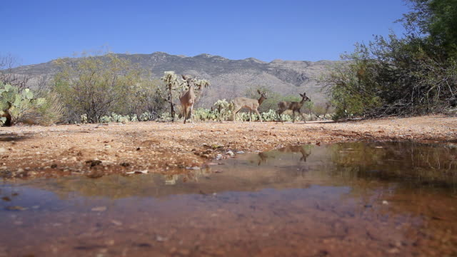 MS Whitetail deer arriving at desert water hole / Tucson, Arizona, United States