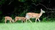 Whitetail deer fawns and doe
