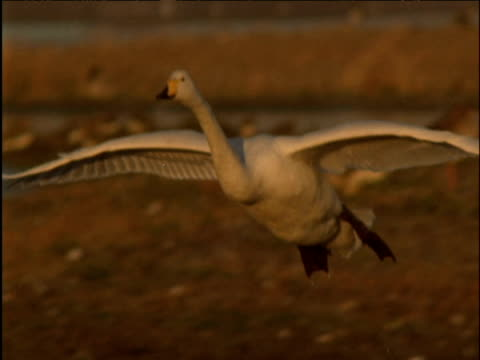 Whooper swan comes in to land on lake at dusk