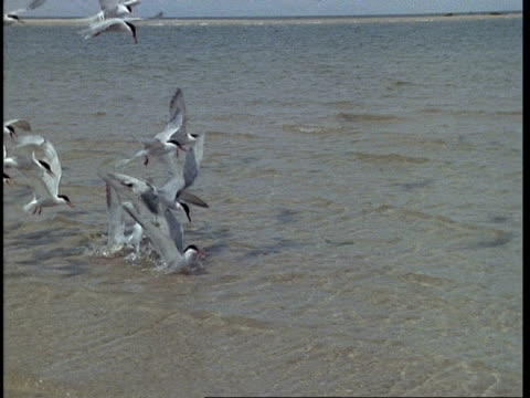 Wide angle Common terns diving for sand eels, UK