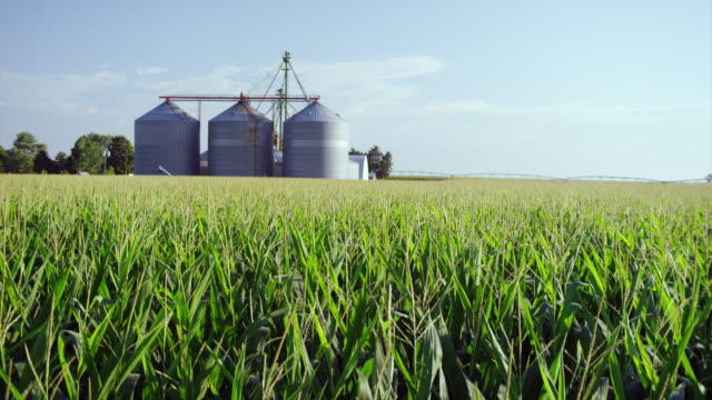Wide angle large field of corn with tassels waving in breeze and grain storage bins in background