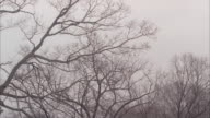 wide angle of flock of birds flying and landing in bare branches of trees. overcast sky. could be woods or forest.