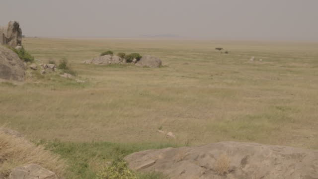 Wide, elevated sequence showing an acacia tree on vast Serengeti plains, Tanzania.
