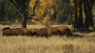 Wide panning shot of bison grazing in field / Grand Teton National Park, Wyoming, United States