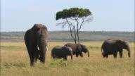 Wide shot 4 elephants walking through field by acacia tree / Masai Mara, Kenya