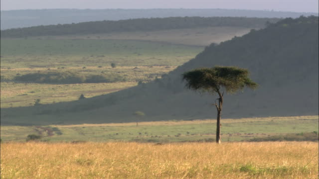 Wide shot acacia trees on hot, hazy and hilly landscape / Masai Mara, Kenya
