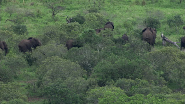 Wide Shot aerial push-out tracking-right - A herd of elephants passes through a thicket of trees in South Africa. / South Africa