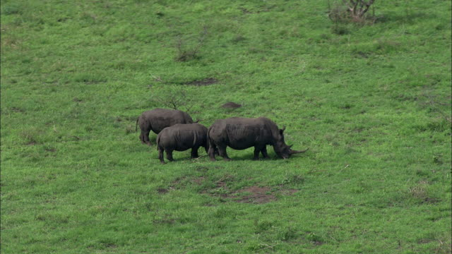Wide Shot aerial tracking-right - A small family of rhinos grazes on a grassy South African plain. / South Africa