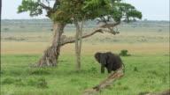 Wide shot African elephant standing under tree / walking away / Masai Mara, Kenya
