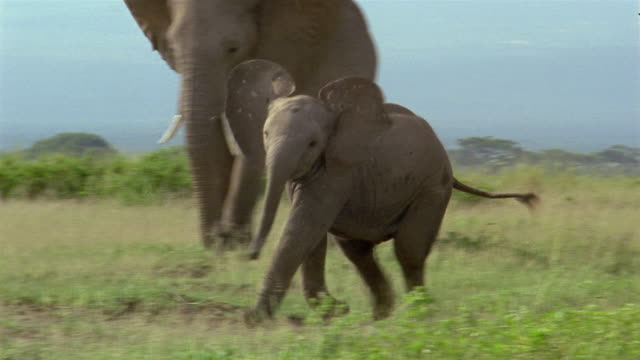 Wide shot baby elephant looking for mother / running by members of herd / Amboseli National Park / Kenya