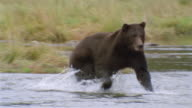 Wide shot brown bear chasing after salmon in stream / catching and eating salmon / Admiralty Island, Alaska