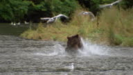Wide shot brown bear running in stream/ rearing up and looking for salmon/ catching + eating salmon/ Alaska