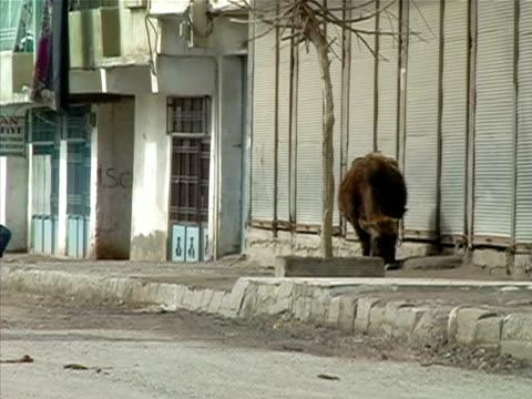 Wide shot Cow grazing along sidewalk near pedestrians and street in rundown area of city/ Turkey
