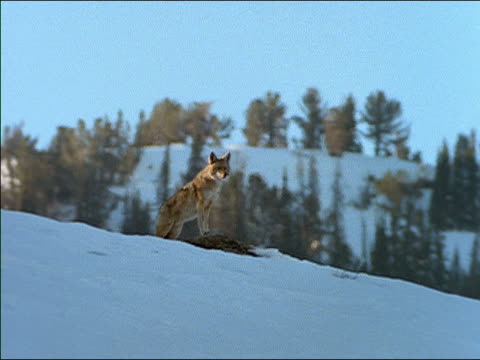 Wide shot coyote howling, perched on rock on snowy hillside/ Yellowstone National Park, USA
