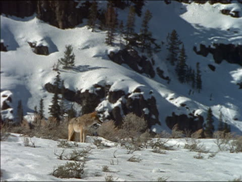 Wide shot coyote standing in snow, howling and looking around at foot of hill/ Yellowstone National Park, USA