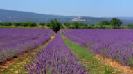 wide shot crane shot rows of lavender flowers with hills in background / France