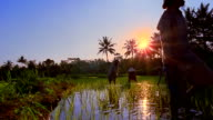 Wide shot crane shot slow motion Balinese men and women working in rice paddy / Indonesia