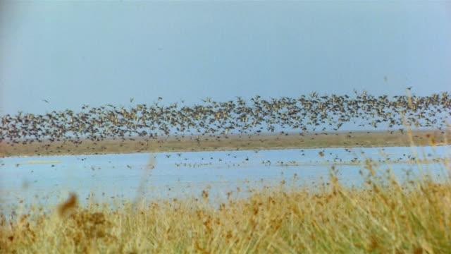 Wide shot flock of birds talking off from marshy coastline / Spain
