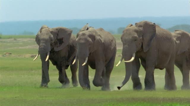 Wide shot four elephants running side-by-side across grassland / Amboseli National Park / Kenya