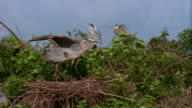 Wide shot great blue heron landing on nest with twig / mate using twig to build nest / Florida Everglades