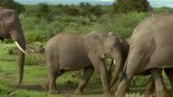Wide shot herd of elephants walking past CAM / Ambroseli National Park / Kenya