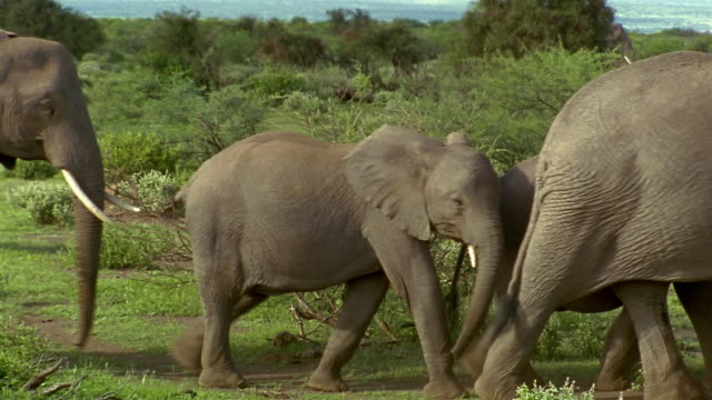 Wide shot herd of elephants walking past CAM / Ambroseli National Park / Kenya