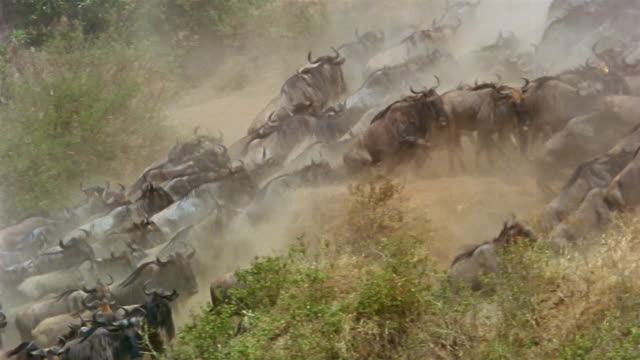 Wide shot herd of wildebeest running up riverbank / kicking up dust / stopping on a bluff / Africa