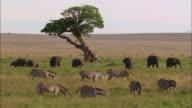 Wide shot herds of zebras and elephants grazing near acacia tree in African landscape / Masai Mara, Kenya