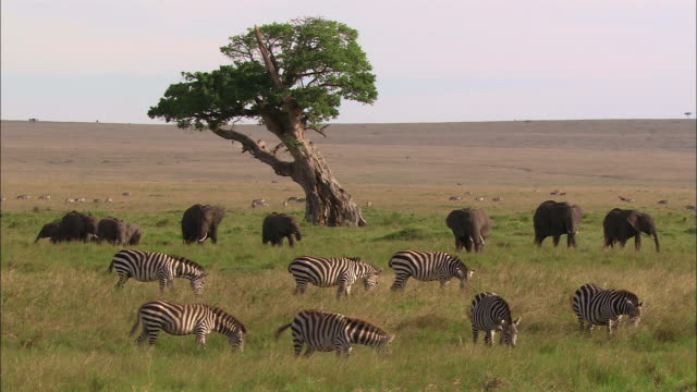 Wide shot herds of zebras and elephants grazing near acacia tree in African landscape / Masai Mara, Kenya