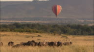 Wide shot hot air balloon floating over trees and herd of wildebeests on plain / Masai Mara, Kenya