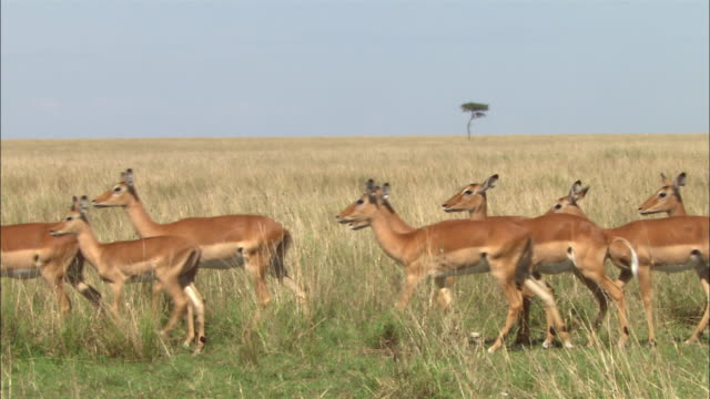 Wide shot impalas walking through grass with lone acacia tree in background / Kenya, Africa