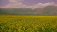 wide shot PAN of mustard field with mountains in background /Abruzzo, Italy
