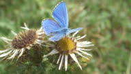 Wide shot of Adonis Blue butterfly