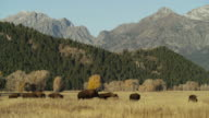 Wide shot of bison running in field / Grand Teton National Park, Wyoming, United States