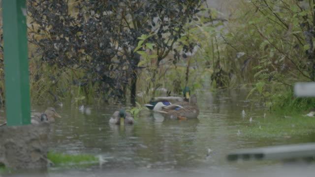 Wide shot of ducks swimming on Lake Hood