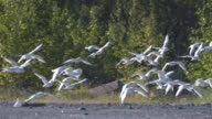 Wide shot of flying seagulls