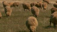 Wide shot of Merino sheep grazing in a paddock of grass black cattle under copses of trees silos and rolling hills in background / closeup of Merino...