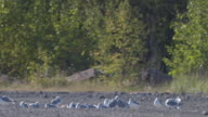 Wide shot of resting seagulls