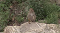 Wide shot  of Rhesus macaque monkey sitting on a rock