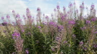Wide shot of Scottish Heather flowers.