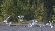 Wide shot of seagulls taking off