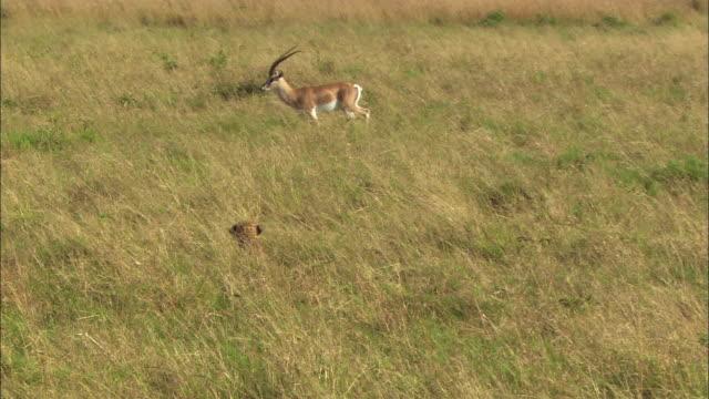 Wide shot pan cheetah chasing Grant's gazelle through grassy field / Masai Mara, Kenya