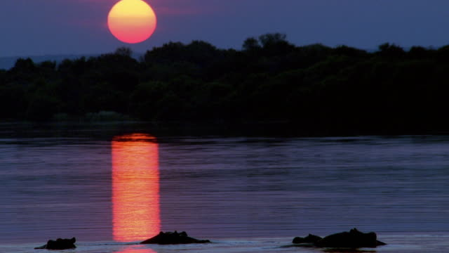 Wide shot pan group of hippopotami in lake with heads sticking up at sunset / sun reflection / Africa