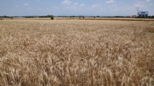 Wide shot pan left to right and back elevated view of a field of wheat sway in a light breeze