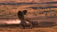 Wide shot pan male African elephant charging gazelle / zebras grazing in foreground / Africa