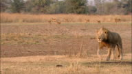 Wide shot pan male lion walking on savanna / antelope in background / South Luangwa National Park / Zambia